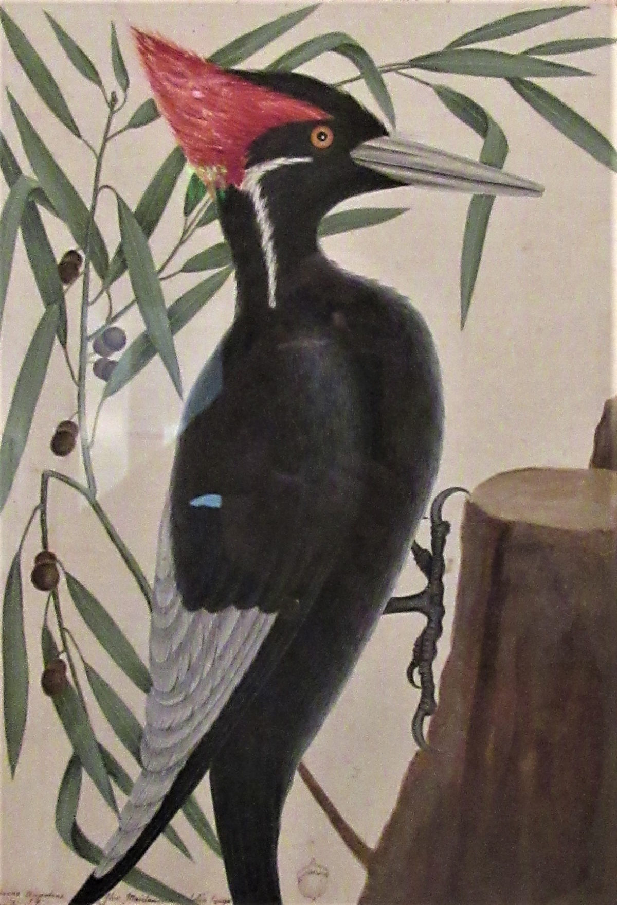 Ivory-billed Woodpecker and Willow Oak by Mark Catesby