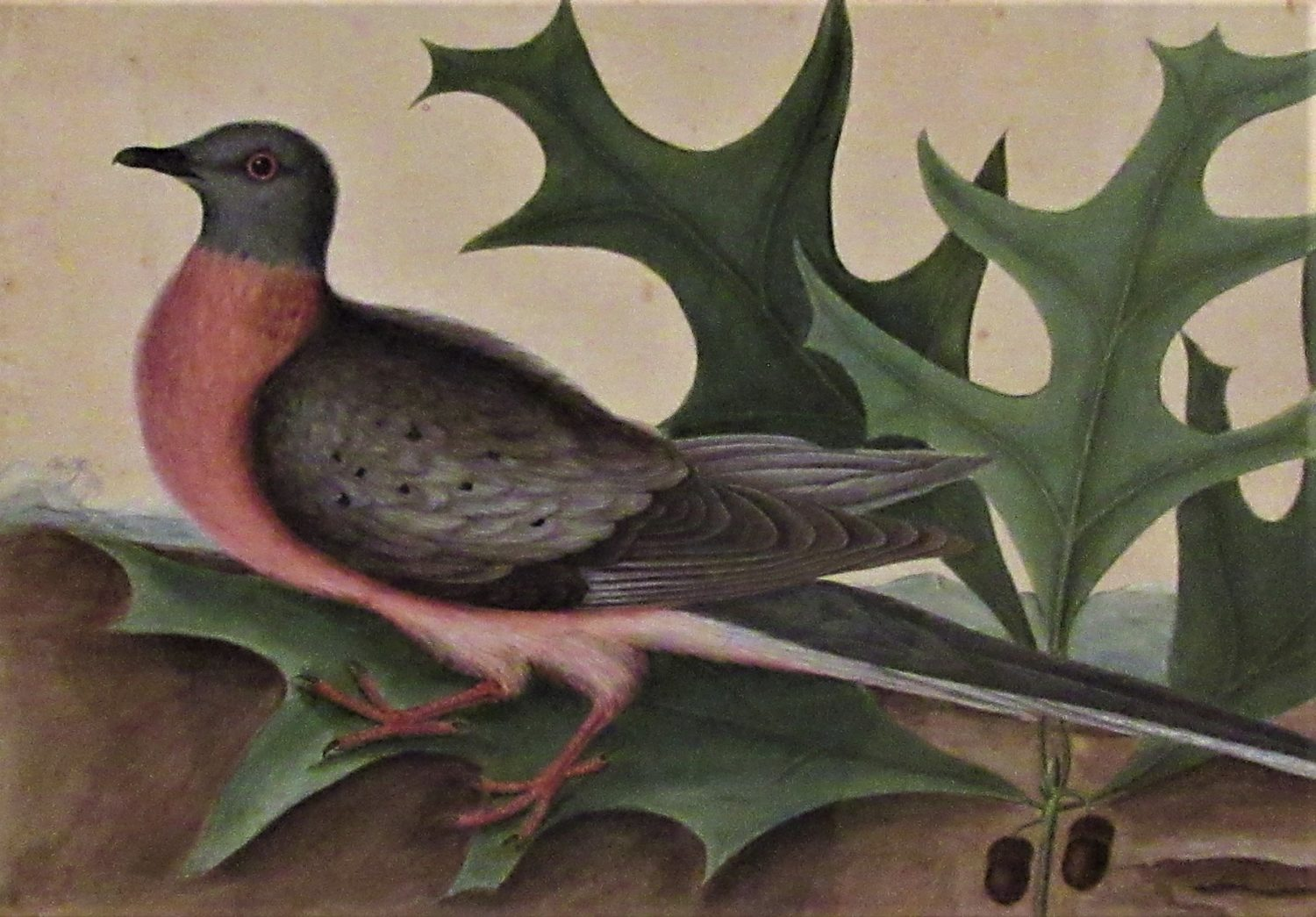 Passenger Pidgeon and Turkey Oak by Mark Catesby