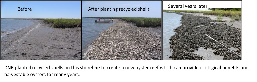DNR planted recycled shells on this shoreline to create a new oyster reef which can provide ecological benefits and harvestable oysters for many years.