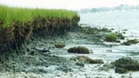 Why are the oyster reefs in trouble?