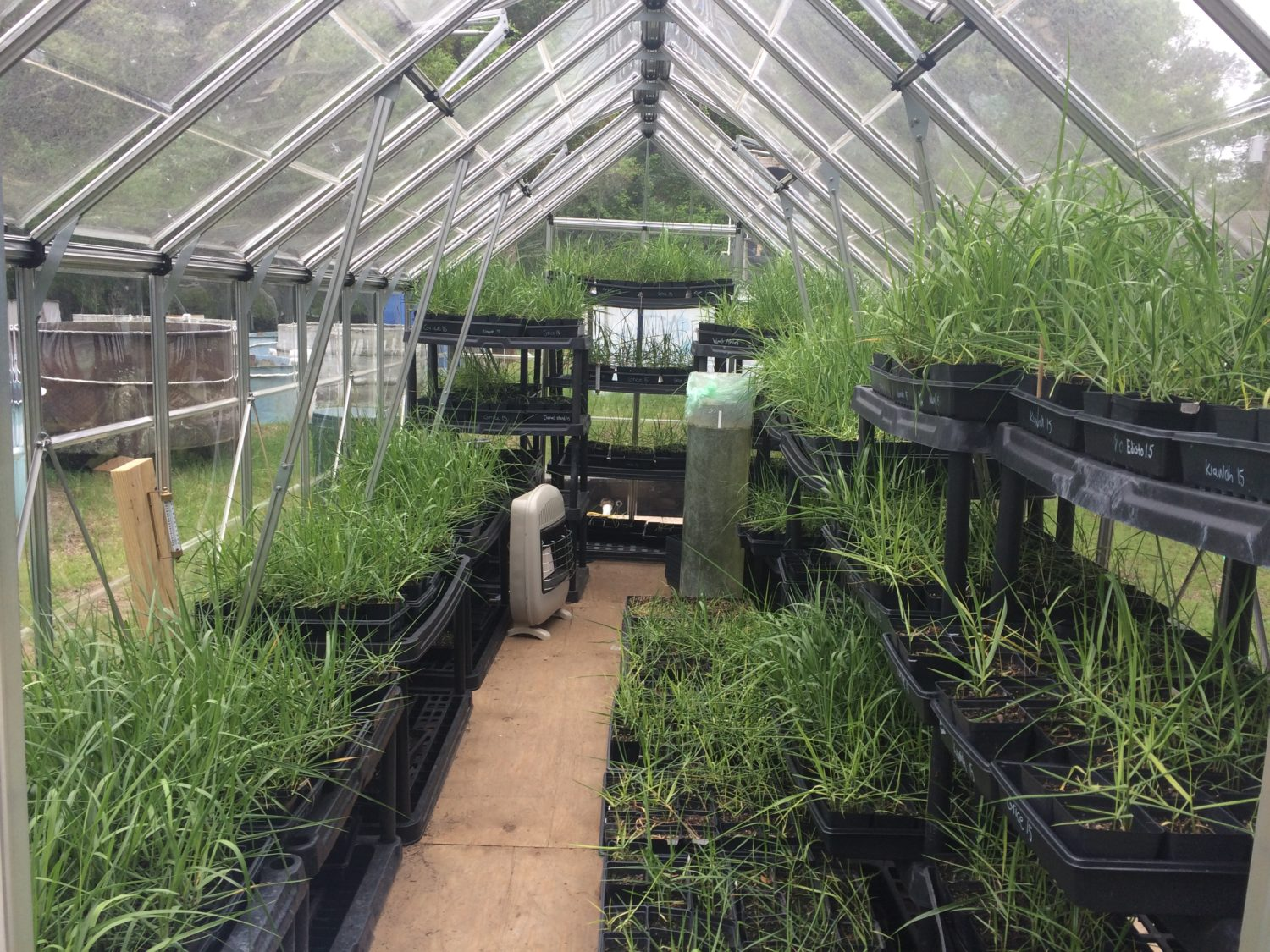 Marsh seedlings growing in a greenhouse at Fort Johnson Marine Center.