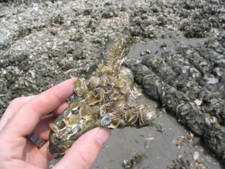 Juvenile oysters attached to a recently planted shell.