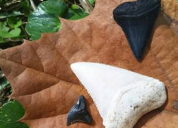 How to hunt for Shark Teeth