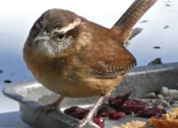 Have you found a Carolina Wren nest in an unusual place?